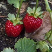 Zakup sadzonek truskawek – co jest istotne?